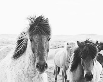 Horse Photography, Physical Print, Icelandic Horses