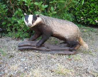 A Very Good Vintage French Taxidermy  Badger Mounted On A Nice  Wooden Base