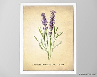 Lavender Herb Print, Lavender Art Print, Lavender Poster, Kitchen Decor, Art for Kitchen, Lavender Herb Botanical Art Print, Kitchen Print