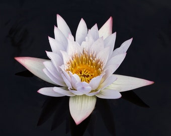 White Water Lily Photo, Botanical Print, Flower Photograph, Black & White Wall Art, Water Lily Decor, Zen Flower Picture, Japanese Style Art