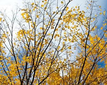 Yellow Autumn - Aluminum Print