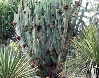 50+ Peruvian Apple Cactus Seeds Cereus Peruvianus.  Night Blooming fruiting cactus.   Tracking number.