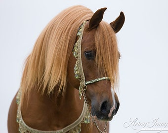 Red Arabian Stallion Comes Close - Fine Art Horse Photograph - Horse - Fine Art Print