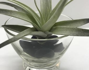 One Air Plant