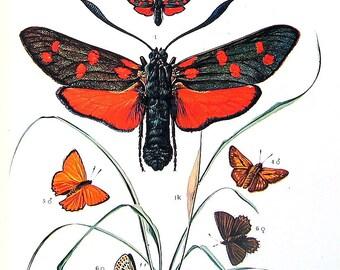 Moth Print - Hawkmoth, Owlet Moth, Goat Moth, Hornet Moth, European Moth, European Butterfly - 1973 Vintage Book Page - 10 x 7