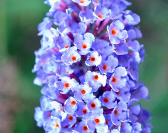 Lilac(?) bunch in lavender with orangish red centers.