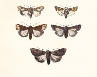 Antique Vintage Moth Print Plate LI . dotted rustic, pale mottled willow, brown feathered rustic . original woodblock dated 1896