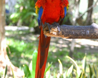 Costa Rica Parrot 2