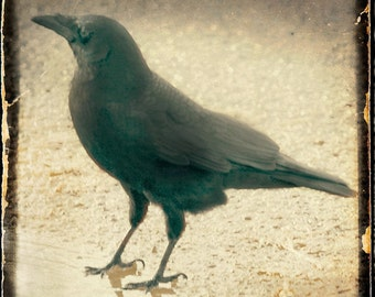 Antiqued Gold Crow Photograph--Black Crow Grounded--TTV Fine Art