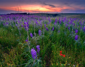 Landscape Photography, Wall Decor, Nature, Israel, Fine Art Photograph, Flowes , Spring, Lupines, Sunset, Green