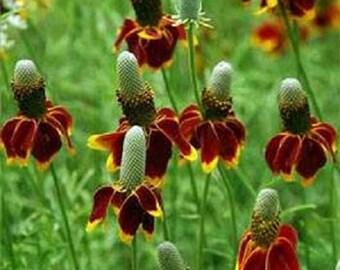 Mexican Hat Ratibida Flower Seeds / Perennial 75+