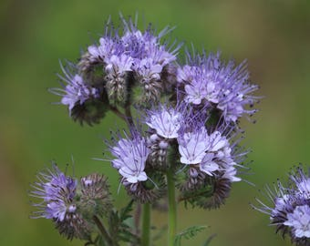 Purple Tansy seed, Phacelia seeds, Scorpion weed seed, native wildflower seed, seeds grown in the USA, bee friendly