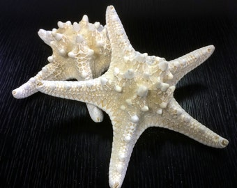 "Large 2 pieces Knobby Starfish Off White, Approximately 5"" to 6"" - Protorester Nodosus (VFSF01/05WT)"