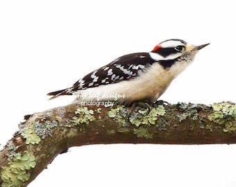 Downy Woodpecker 5 x 7 Limited Matted Photographic Print