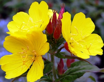 Pre-order for Spring 2018/ 6 Live Evening Primrose Rooted Plants, 12 to 18 inches tall, Beautiful Yellow Blooms, Hardy Perennial