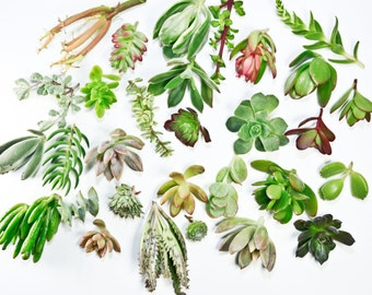 FREE SHIPPING 15 succulent plant cuttings succulent clippings 15 different succulents succulent kit