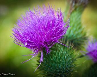 Purple Thistle Photography Art Print, Home Decor, Botanical Art Print, Nature Photography, Thistle in Bloom, Purple Flower, Wall Decor