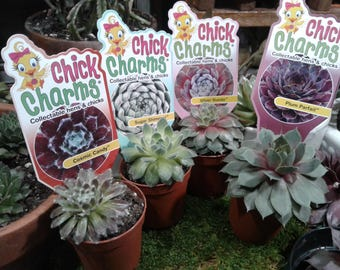 Chick Charms  - Sempervivum  - Hardy Hens and Chicks - 2 inch rooted plants