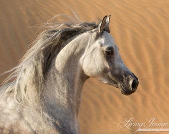 Desert Stallion Against the Dunes - Fine Art Horse Photograph - Horse - Arabian - Inventory Reduction Canvas