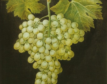 FRUIT PRINTS GRAPES 2002 Color Art Print Original Book Plate 135 Beautiful Green Grapes with Green Leaf on Ivory