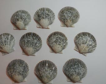 Genuine Scallop Shells - From Crystal River, FLorida - Freshly Caught by me - Shells - Seashells - Grey Seashells - 10 Natural Shells  #106