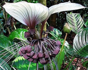 Tacca integrifolia, Cat's Whiskers, 10 fresh seeds, exotic tropical houseplant, gigantic blossoms, warm misty shade, seeds grown in the USA