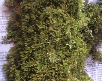 Quart bag of Live Sheet moss, Shag moss, Reptiles, terrarium, live plants