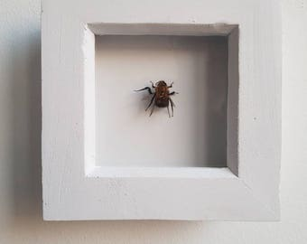 Real taxidermy entomology bumblebee in a white shadow box frame