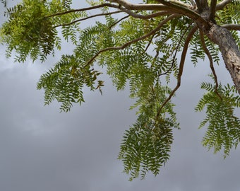 50 Boswellia serrata Seeds,  Indian frankincense Tree Seeds