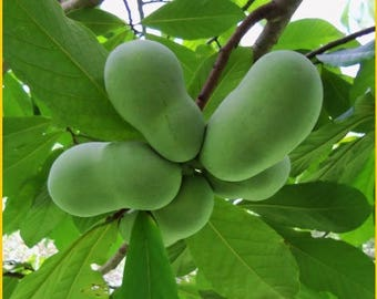 15 Paw Paw tree Seeds! Indiana Banana!
