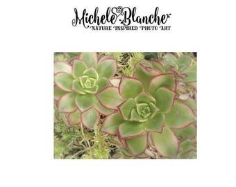 Broadleaf Sedum Photo Art, Succulent Nature Photography, Garden sedum Photo, Garden Nature Print, Sedum Art, Organic Photo Art Prints