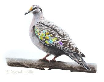 "5x7"" Common Bronzewing Bird Print - Bird Art - Australian Bird Art"