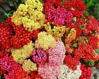 50+ Achillea Summer Pastels Mix / Perennial Flower Seeds