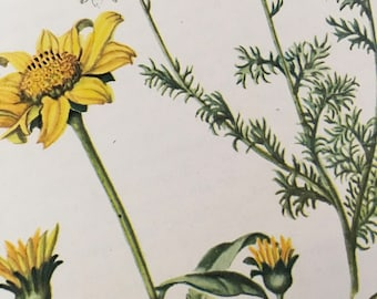 Ox-eye, Heliopsis helianthoides, and Dog-fennel, Anthemis cotula, Vintage illustration flower print  1954 wildflower farm house chic