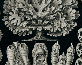 Kunstformen der Natur, Haeckel Kunstformen der Natur, Kunstformen der Natur Haeckel, Kunstformen Natur, der Natur, Haeckel Kunstformen, Art