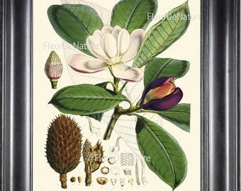 BOTANICAL PRINT Fitch 8x10 Botanical Art Print 6 Beautiful White Magnolia Flower Tree Branch Garden Nature Plant Seeds to Frame Home Decor
