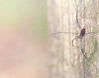 Daddy Long Legs Color Photo Print { brown, eyes, wood, eight, spider, post, sunlight, wall art, macro, nature & fine art photography }