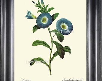 BOTANICAL PRINT Redoute Flower  Botanical Art Print 59 Beautiful Blue Liseron Morning Glory Wildflower Spring Summer Garden Home Decor