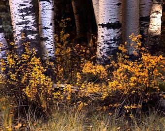 Aspen trees fall, fall tree photo, aspen tree decor, Colorado art, rustic wall decor, log cabin art, fall leaves photo | A Simple Scene