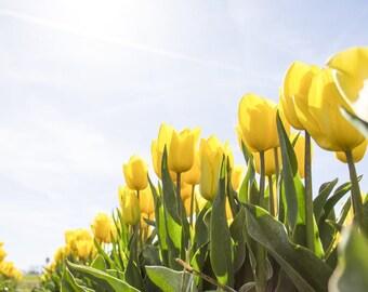 tulip recreation