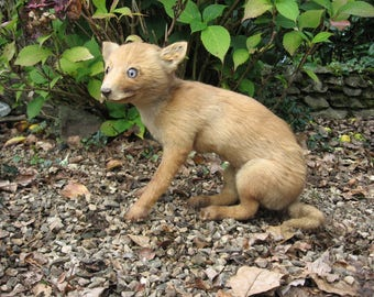 A Very Nice Old French Taxidermy Young Fox Cub