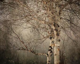 25% Memorial Day Sale Birch tree landscape photography nature winter snow office decor home decor Fine Art Photograph