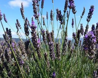 bulk lavender buds