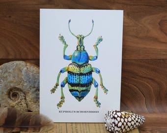 Eupholus Schoenherri Weevil Insect, Beetle,  Coleoptera, natural history blank greeting card.By Tabitha McBain