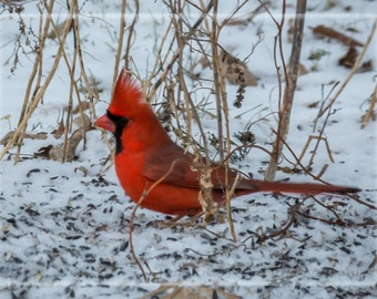 Male Cardinal in Snow Blank Note Card