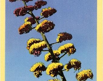 Century Plant Close-Up Agave Parrii Botanical Vintage Postcard (unused)