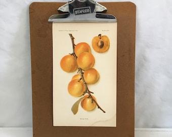 1905 golden plum Chromolithograph Fruit illustration