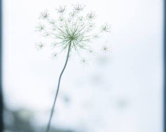 Queen Anne's Lace with White Background - Fine Art Print - Flower Photography - Nature Pastel Print - Botanical