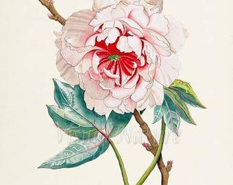 Japanese Peony Flower Art Print, Botanical Art Print, Flower Wall Art, Flower Print, Floral Print, red, white