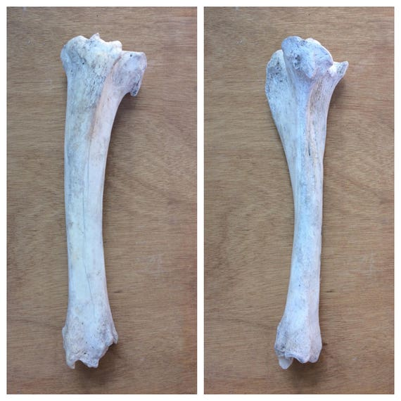 Real Cow Tibia Bone Craft Gradenature Cleaned From Skelesenses On